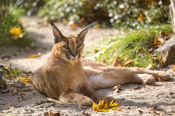 Caracal in the wild - Stock Photo - Images