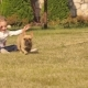French Bulldog Running Across the Lawn - VideoHive Item for Sale