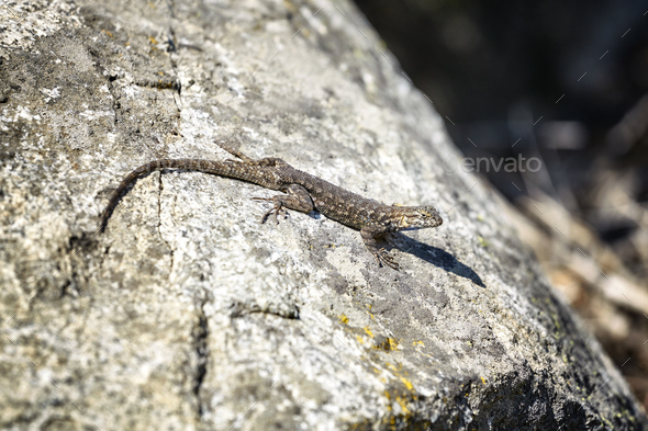 Western fence lizard on a rock. - Stock Photo - Images