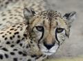 Lying Leopard - detail head - PhotoDune Item for Sale