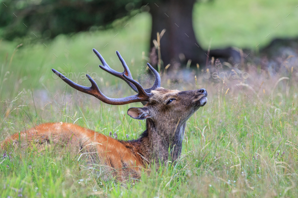sika deer in the grass. Parc de Merlet, France - Stock Photo - Images