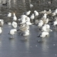 Pack of Sea Seagulls Larus Marinus on Lake Ice in the Early Spring - VideoHive Item for Sale