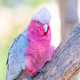 Galah Portrait - PhotoDune Item for Sale