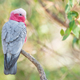 Galah in a Forest - PhotoDune Item for Sale