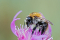 Pollination - bumble bee - PhotoDune Item for Sale