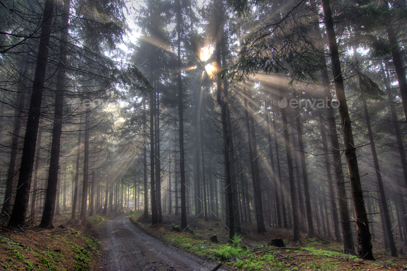 God beams - coniferous forest in fog - Stock Photo - Images
