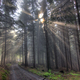 God beams - coniferous forest in fog - PhotoDune Item for Sale