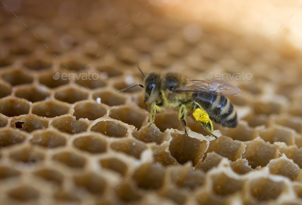 bee with pollen - Stock Photo - Images