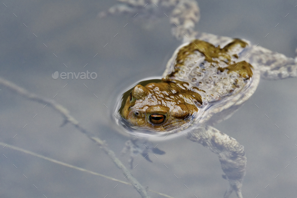 Common toad (Bufo bufo) swin in a pond - Stock Photo - Images