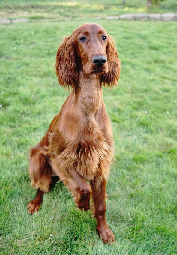 Young Purebred Irish Setter Puppy Canine Dog - Stock Photo - Images