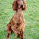 Young Purebred Irish Setter Puppy Canine Dog - PhotoDune Item for Sale
