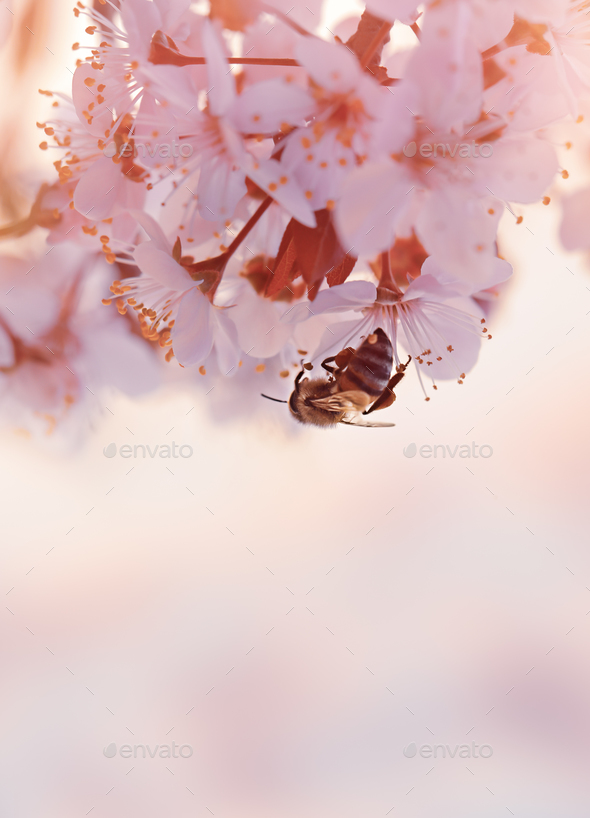 Little bee on the blooming cherry tree - Stock Photo - Images