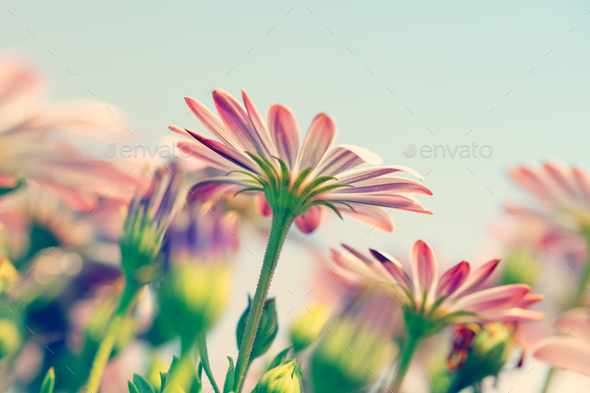 Daisy flower field - Stock Photo - Images