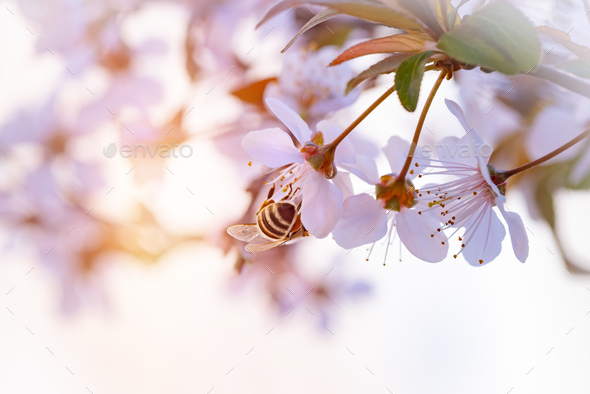 Bee pollinates spring cherry - Stock Photo - Images