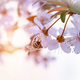 Bee pollinates spring cherry - PhotoDune Item for Sale