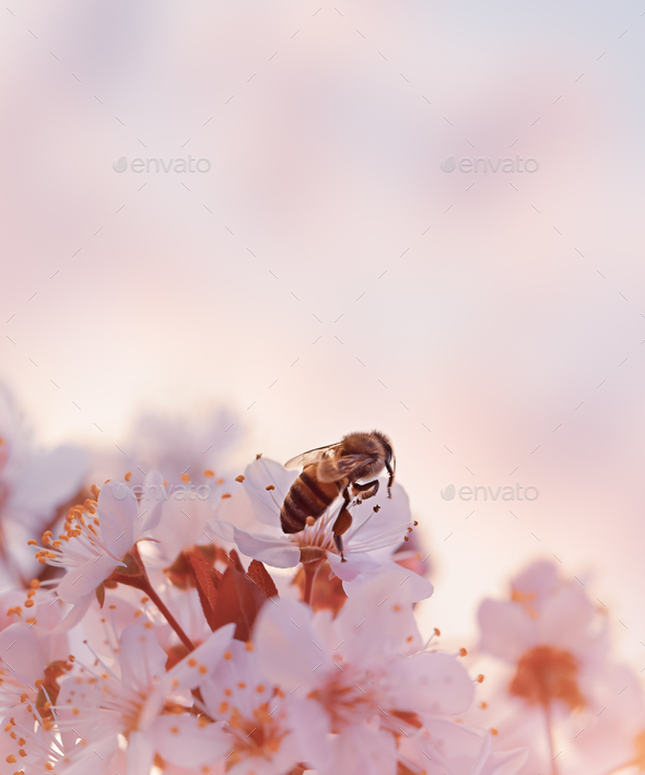 Little bee on the blooming cherry - Stock Photo - Images