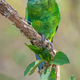 Australian Ringneck or Twenty-eight Parrot - PhotoDune Item for Sale