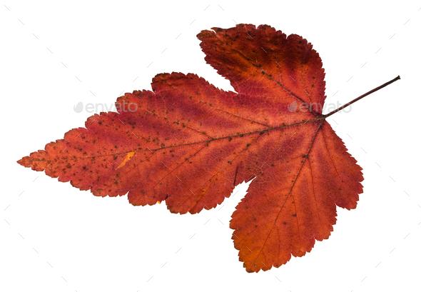 autumn leaf of viburnum tree isolated on white - Stock Photo - Images