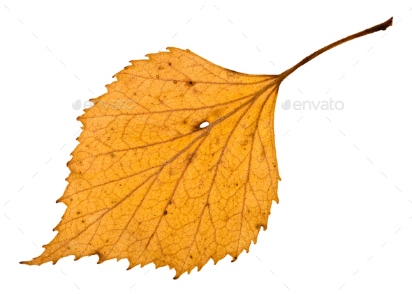 back side of autumn holey yellow leaf of birch - Stock Photo - Images