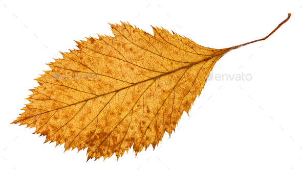 back side of rotten dried leaf of hawthorn tree - Stock Photo - Images