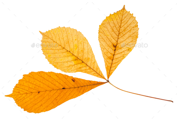 twig with three leaves of buckeye tree isolated - Stock Photo - Images