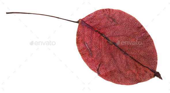 red autumn leaf of pear tree isolated - Stock Photo - Images
