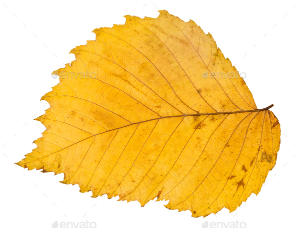 back side of yellow autumn leaf of elm tree - Stock Photo - Images