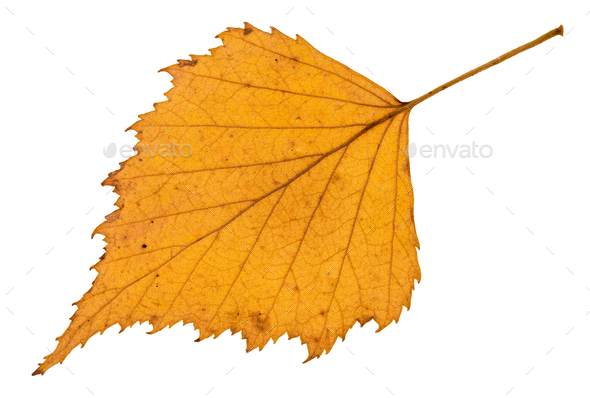 back side of fallen yellow leaf of birch tree - Stock Photo - Images