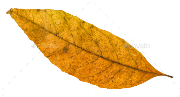 old autumn fallen leaf of ash tree isolated - Stock Photo - Images