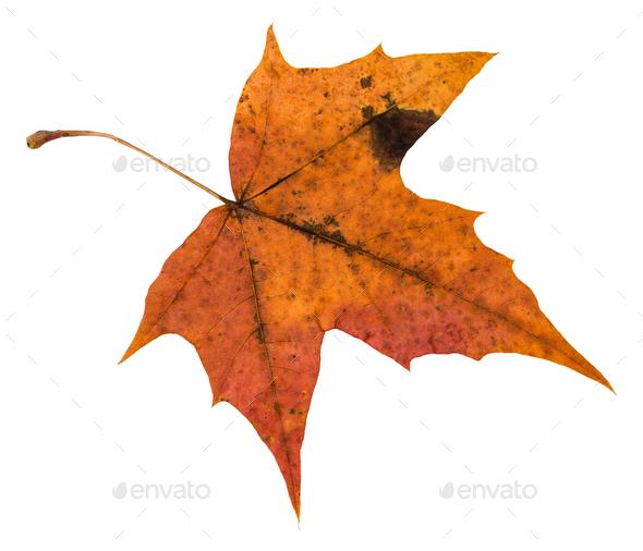 back side of orange autumn leaf of maple tree - Stock Photo - Images