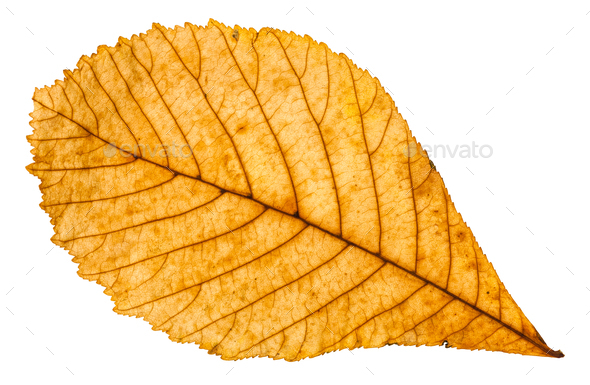 autumn yellow leaf of horse chestnut tree isolated - Stock Photo - Images