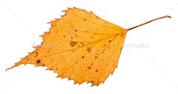dried leaf of birch tree isolated on white - Stock Photo - Images
