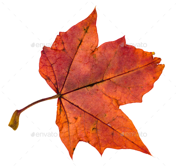 back side of red autumn leaf of maple tree - Stock Photo - Images