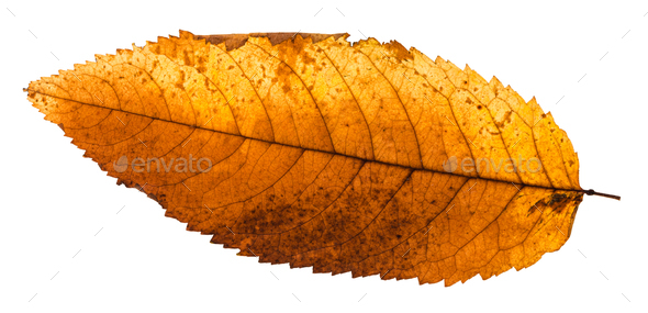 back side of autumn rotten leaf of ash tree - Stock Photo - Images