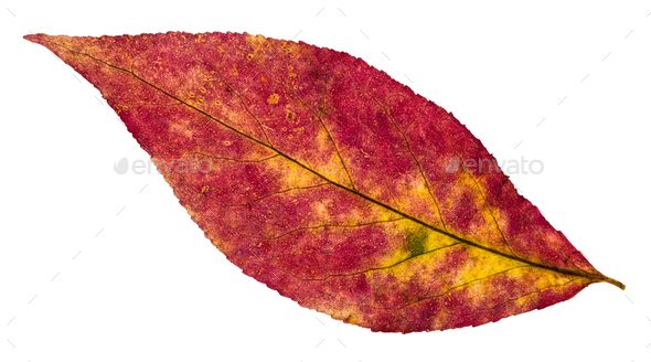 back side of autumn pied leaf of willow tree - Stock Photo - Images