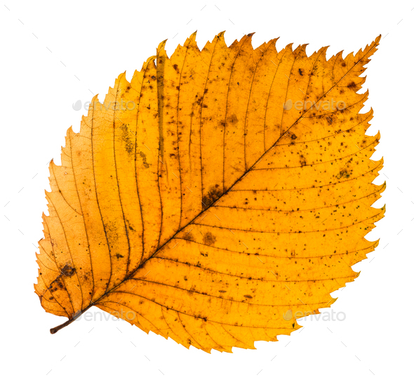 yellow fallen leaf of elm tree isolated - Stock Photo - Images