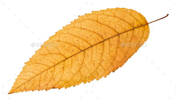 back side of fallen yellow leaf of ash tree - Stock Photo - Images
