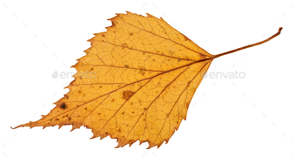 back side of dried leaf of birch tree isolated - Stock Photo - Images