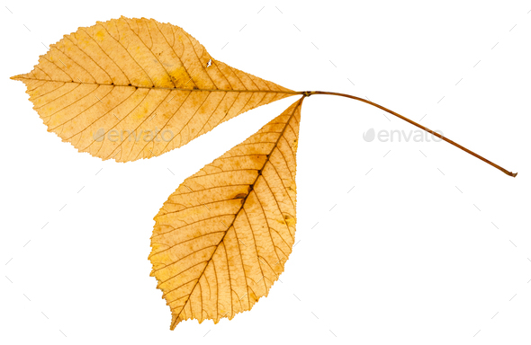 back side of twig with two leaves of buckeye - Stock Photo - Images