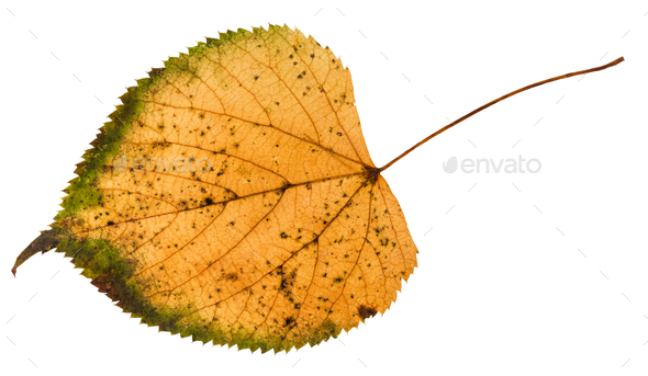 fallen rotten leaf of linden tree isolated - Stock Photo - Images