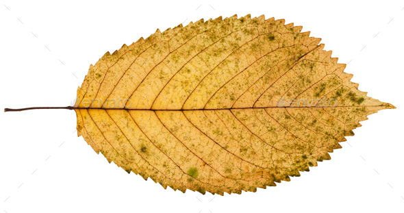 fallen yellow leaf of prunus tree isolated - Stock Photo - Images