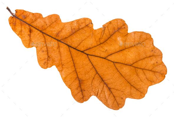 back side of autumn leaf of oak tree isolated - Stock Photo - Images