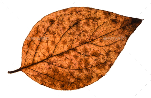 autumn decayed leaf of poplar tree isolated - Stock Photo - Images