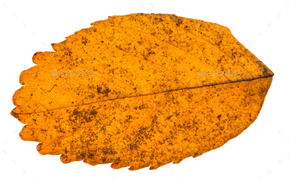 autumn yellow leaf of dog rose plant isolated - Stock Photo - Images