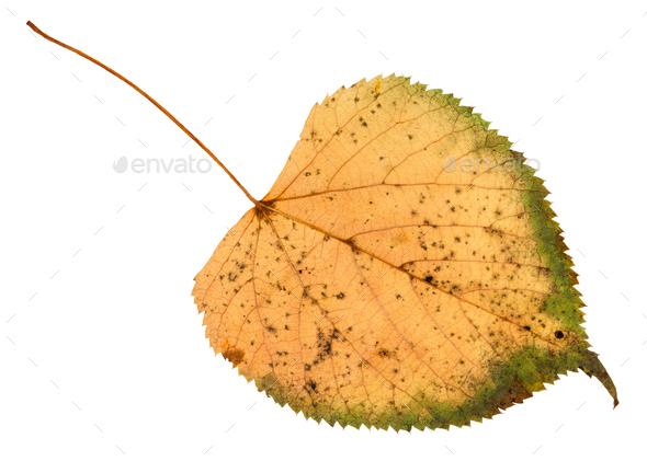back side of fallen rotten leaf of linden tree - Stock Photo - Images