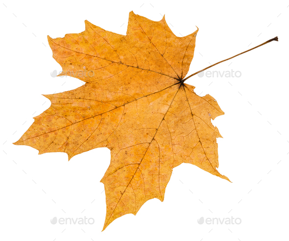 back side of autumn rotten leaf of maple tree - Stock Photo - Images