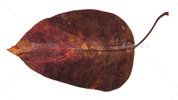 dark red autumn leaf of apple tree isolated - Stock Photo - Images