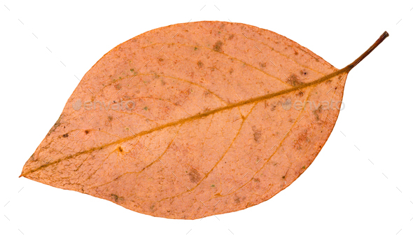 back side of fallen pink leaf of apple tree - Stock Photo - Images