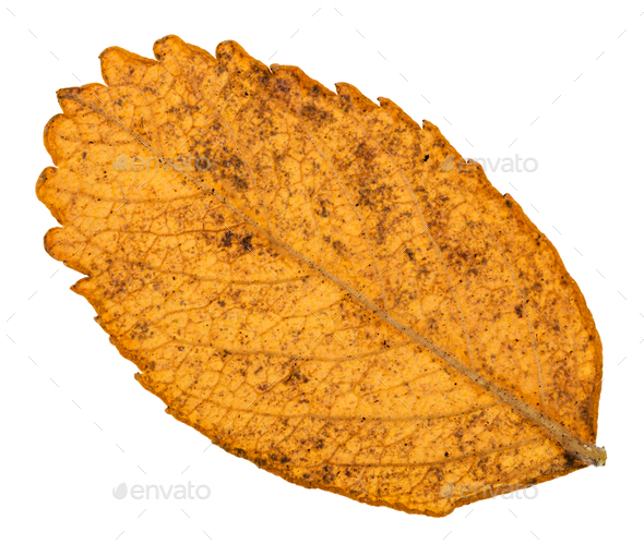 back side of autumn yellow leaf of dog rose plant - Stock Photo - Images
