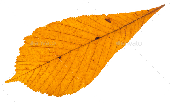dried autumn leaf of horse chestnut tree isolated - Stock Photo - Images